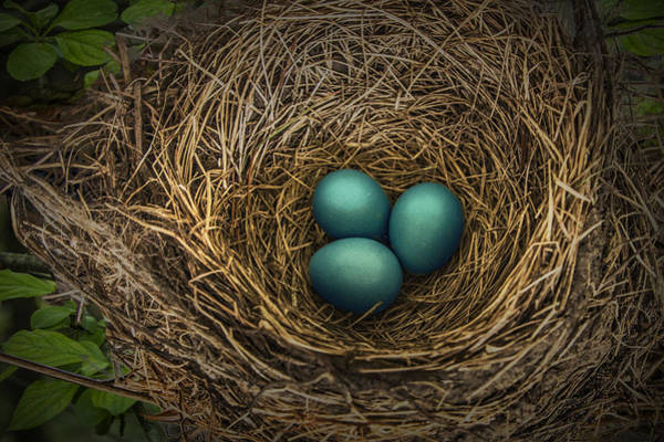 Photograph - Nest Of Blue Robin Eggs by Randall Nyhof