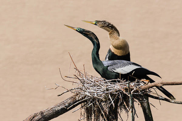 Print On Demand Wall Art - Photograph - Nesting Anhinga Couple by Dawn Currie