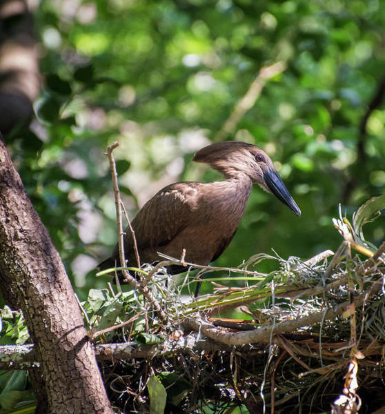 Photograph - Nesting Hamerkop by Alex Lapidus