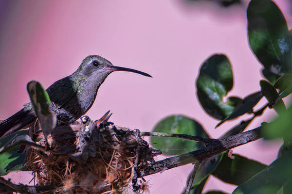 Photograph - Nesting Hummingbirds by Dan McManus