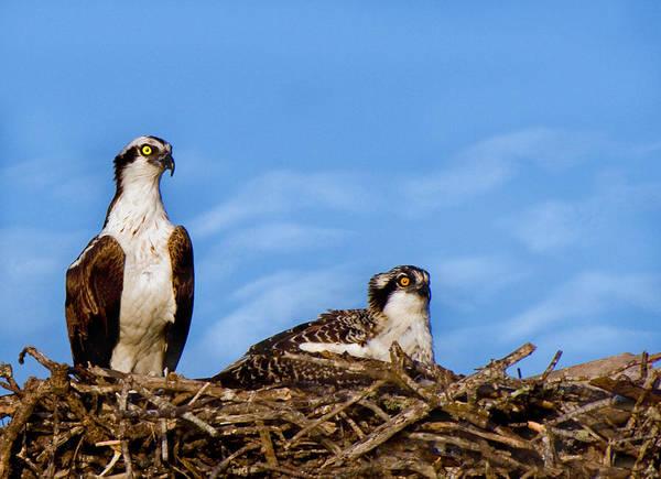 Photograph - Nesting Ospreys by Ginger Wakem