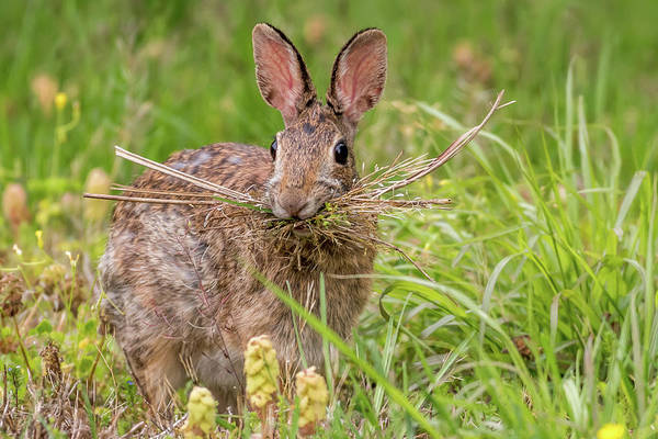 Sylvilagus Floridanus Photograph - Nesting Rabbit by Terry DeLuco