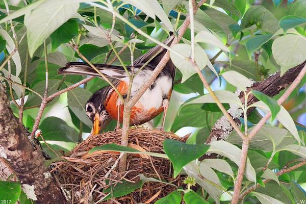 Photograph - Nesting Robin by Lisa Wooten
