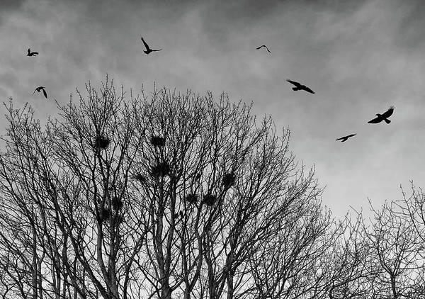 Crows Nest Wall Art - Photograph - Nesting Rooks by Philip Openshaw