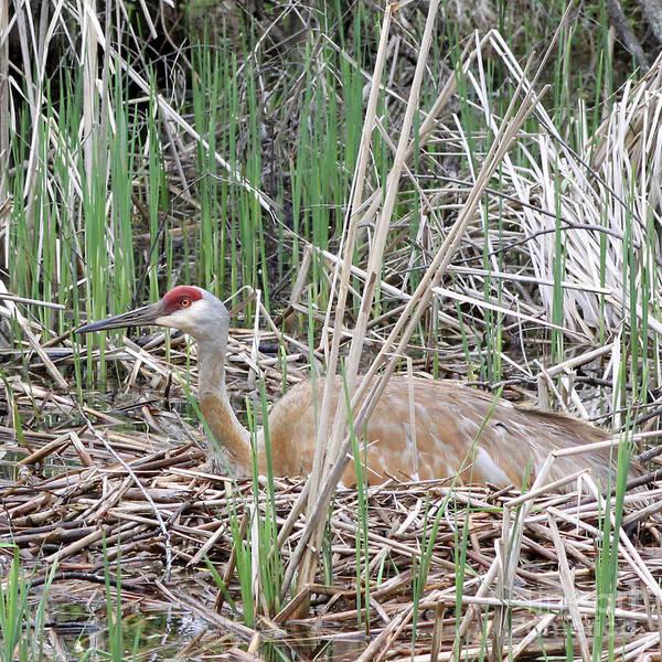 Photograph - Nesting Sandhill Crane by PJ Boylan