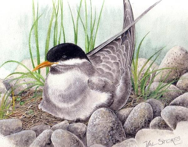 Painting - Nesting Tern by Val Stokes