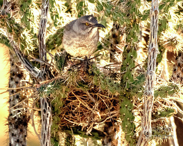 Photograph - Nesting Thrasher by Steven Natanson