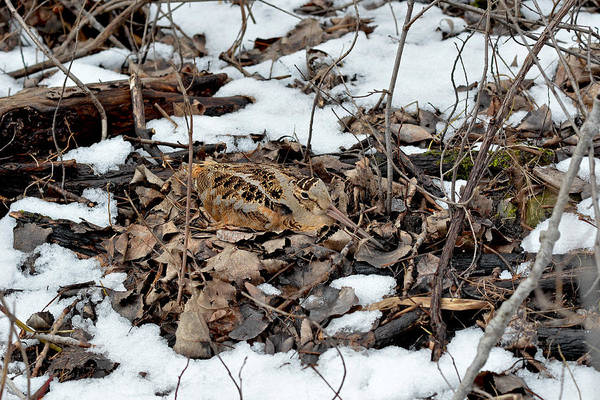 Woodcock Photograph - Nesting Woodcock She Survived Her Eggs From The Snow by Asbed Iskedjian