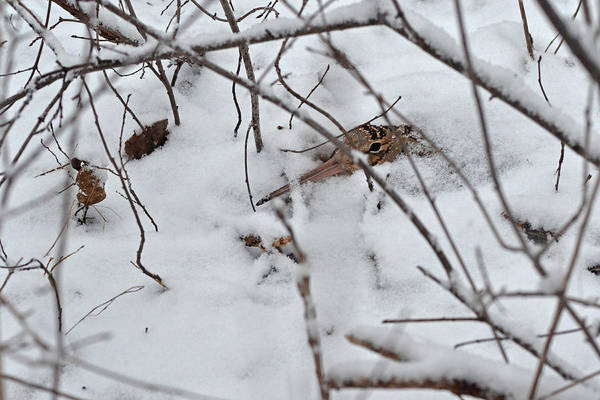 Woodcock Photograph - Nesting Woodcock She Will Protect Her Eggs From The Snow by Asbed Iskedjian