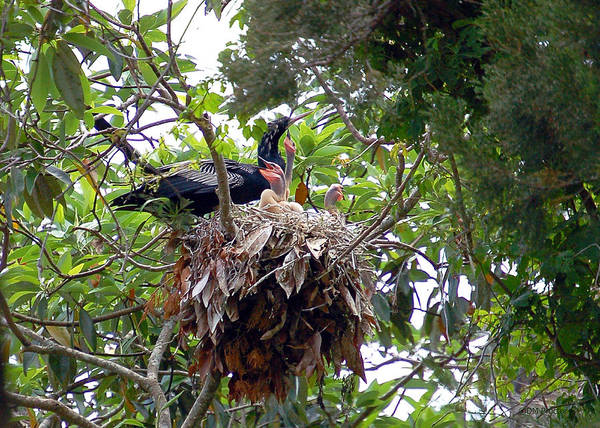 Photograph - Nestling Anhingas by Donna Proctor
