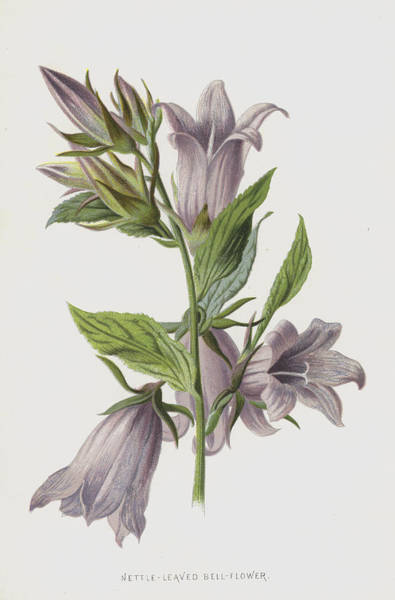 Violet Painting - Nettle-leaved Bell-flower by Frederick Edward Hulme