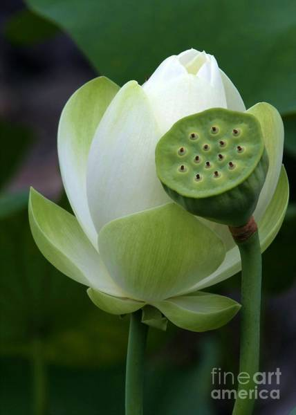 Lotus Seed Wall Art - Photograph - New Beginnings by Sabrina L Ryan