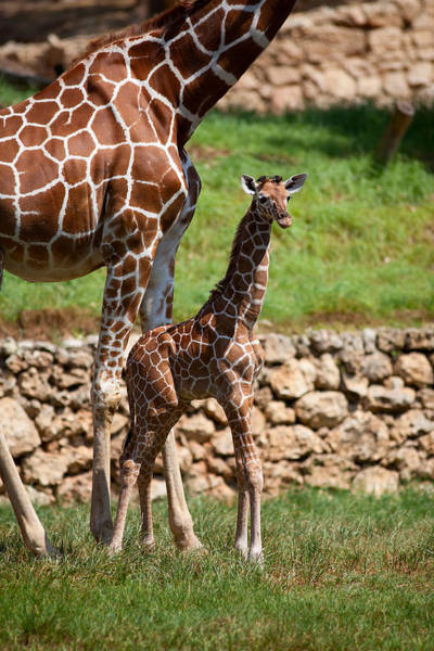 Wall Art - Photograph - New Born Giraffe by Yuri Peress