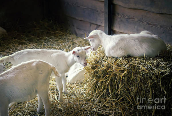 Photograph - New Born Goats by Ariadna De Raadt