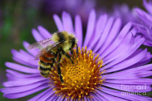 Photograph - New England Aster And Bee by Steve Augustin