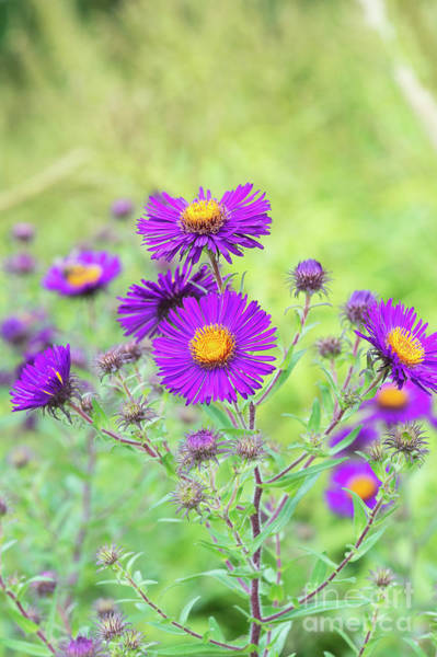 Nova Photograph - New England Aster Violetta Flowers by Tim Gainey