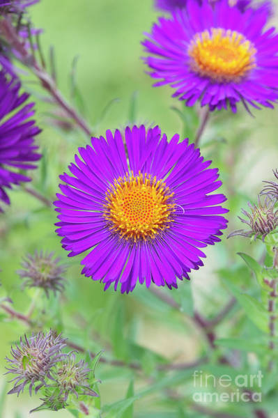 Nova Photograph - New England Aster Violetta by Tim Gainey