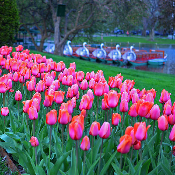 Photograph - New England Four Seasons Spring Boston Public Garden Tulips by Toby McGuire