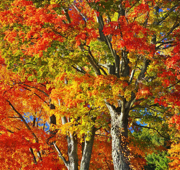 Acer Saccharum Photograph - New England Sugar Maples by Luke Moore
