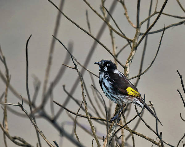 Photograph - New Holland Honeyeater by Nicholas Blackwell