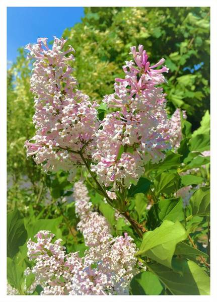 Photograph - New Lilacs by Mario MJ Perron