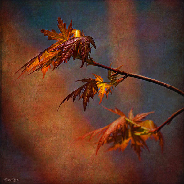 Photograph - New Maple Tree Leaves Rustic by Anna Louise