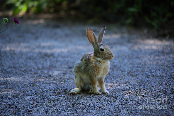 Wall Art - Photograph - A Rabbit In The Road by Jeff Swan