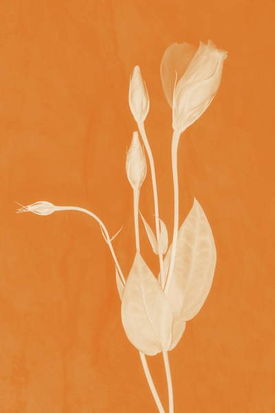 Photograph - New Openings In Apricot by Leda Robertson