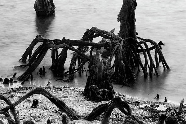 Photograph - New Orleans's Ghostly Cypress Knees In Lake Ponchartrain In Black And White by Kay Brewer