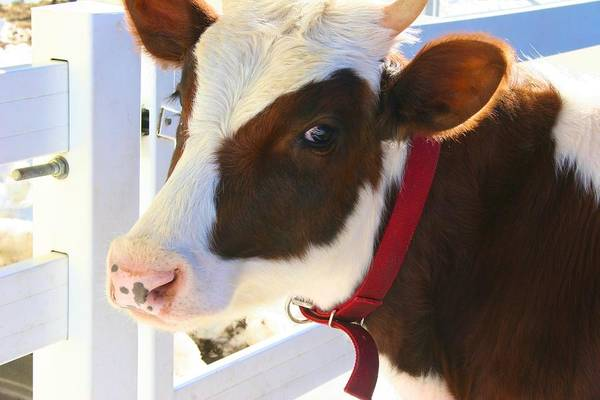 Photograph - New Pond Farm Brown And White Cow by Polly Castor
