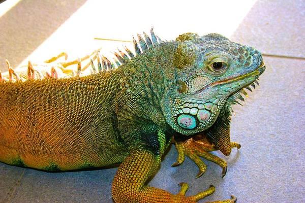 Photograph - New Pond Farm Iguana by Polly Castor
