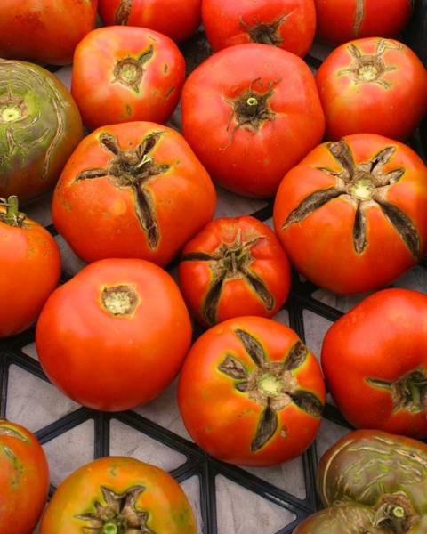 Photograph - New Pond Farm Tomatoes by Polly Castor
