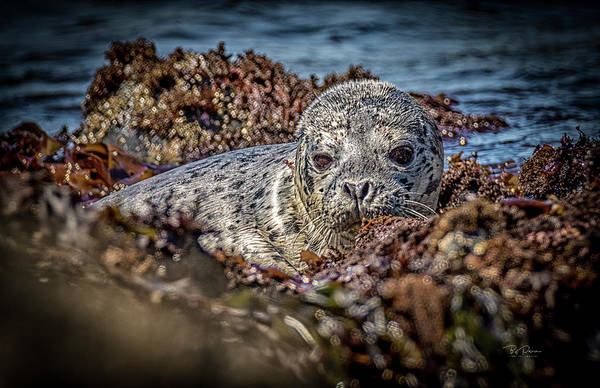 Photograph - Young Seal Pup by Bill Posner