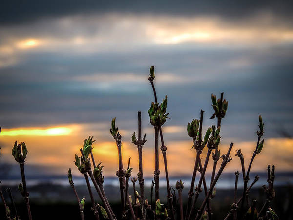Photograph - New Spring Leaves At Equinox Sunrise by James Truett