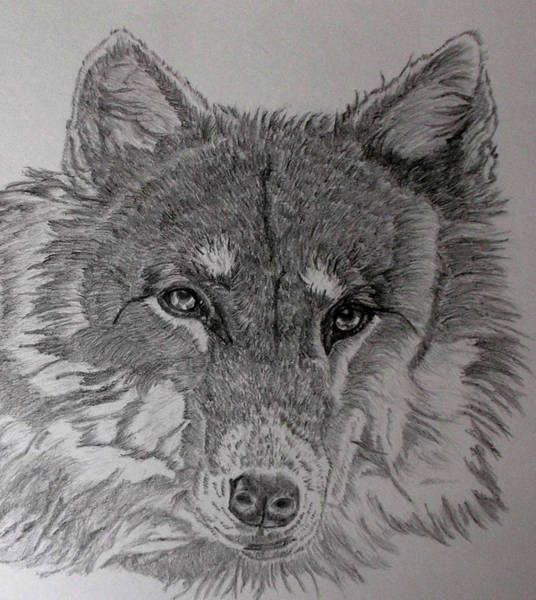 Wolverines Drawing - Wolf. by Cynthia Adams