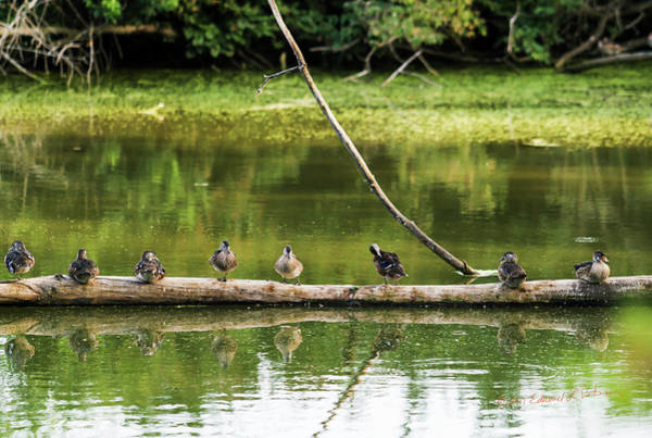 Photograph - New Wood Ducks On A Log by Edward Peterson