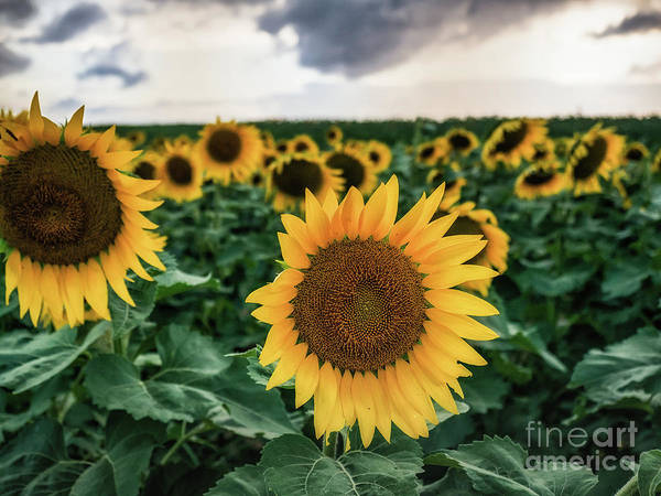 Photograph - New York Sunflower Friends by Alissa Beth Photography