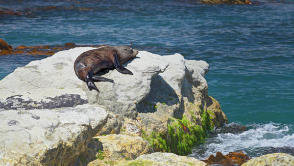 Photograph - New Zealand Fur Seal by Joan Carroll