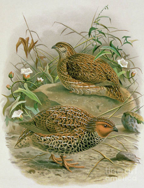 Wall Art - Painting - New Zealand Quail by Johan Gerard Keulemans
