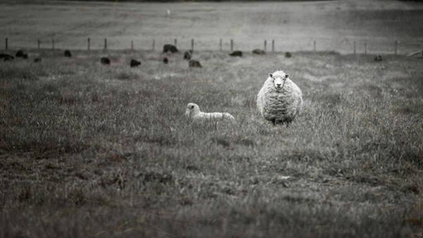 Photograph - New Zealand Sheep Bw by Joan Carroll