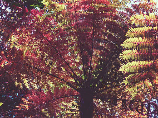Photograph - New Zealand Tree Fern Cross Process Matte by Joan Carroll