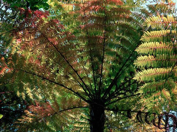 Photograph - New Zealand Tree Fern by Joan Carroll