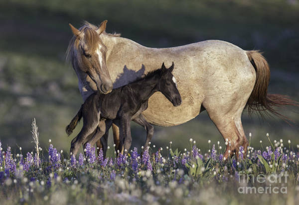 Wall Art - Photograph - Newborn Filly At Dawn by Carol Walker