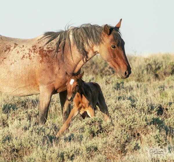 Photograph - Newborn Wild Mustang Foal's First Steps by Judi Dressler