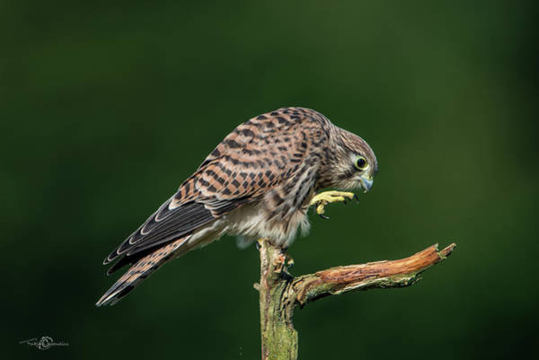 Photograph - Next Step Of The Young European Kestrel by Torbjorn Swenelius