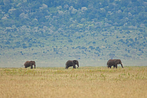 Photograph - Ngorongoro Elephant Walk by John  Nickerson