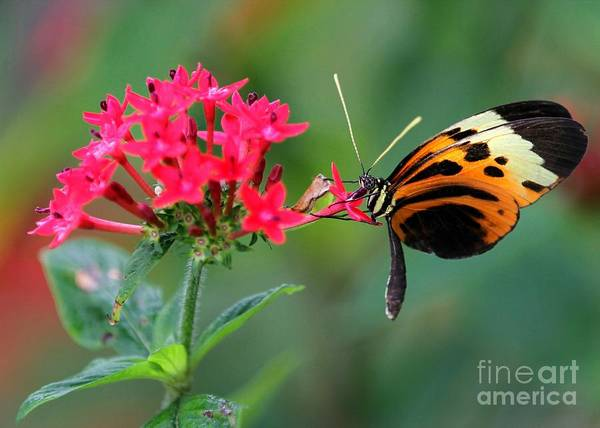 Photograph - Nice Numata Butterfly by Sabrina L Ryan