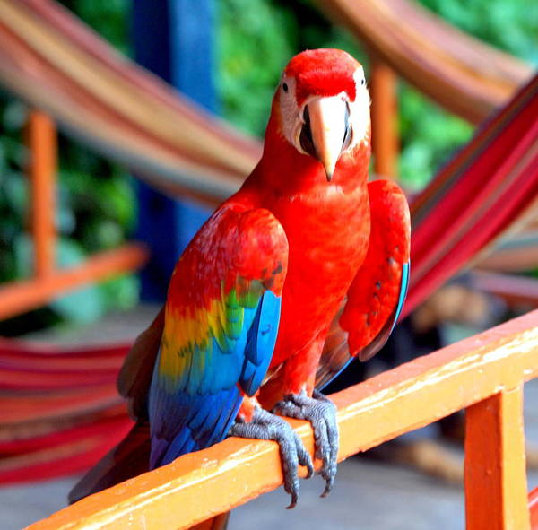 Brillante Photograph - Nice Red Parrot by HQ Photo