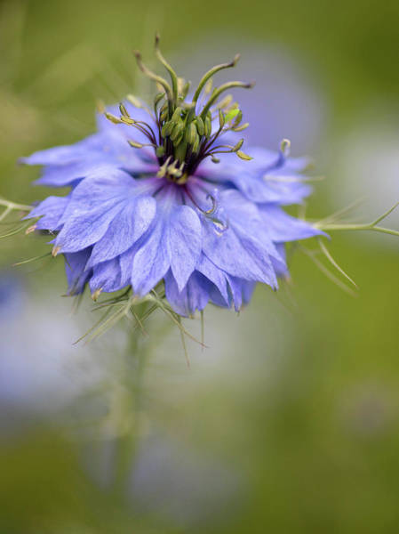 Spikes Photograph - Nigella Blue by Rebecca Cozart