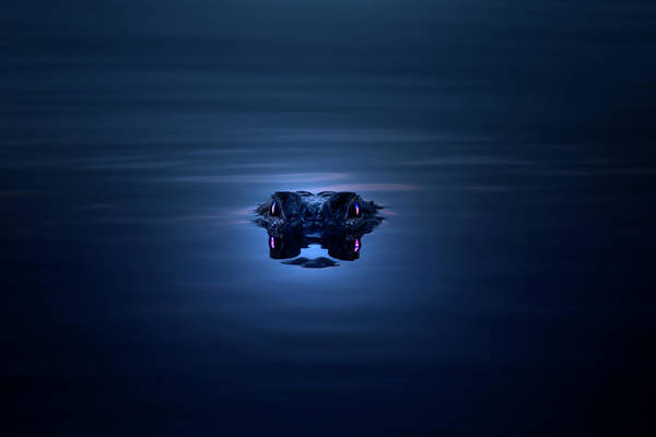 Gator Photograph - Night Eyes by Mark Andrew Thomas